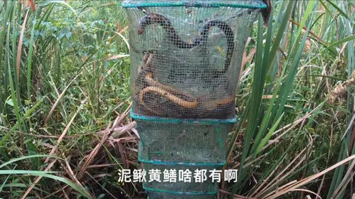 二十多個網只收獲一斤多黃鱔,小毛為何很高興,原來是發現好地方